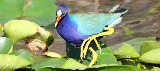 Bird of the Week: Purple Gallinule