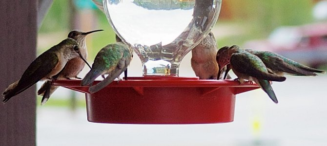 Hummingbird Flock