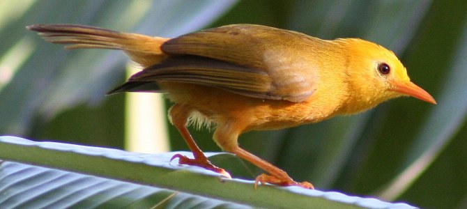 Bird of the Week: Golden White-Eye