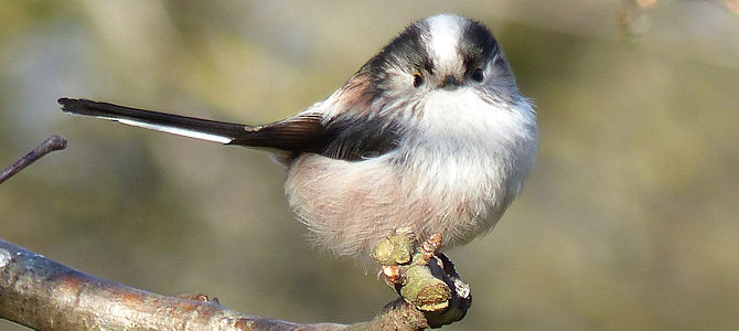 Weekly Bird: Long-Tailed Tit
