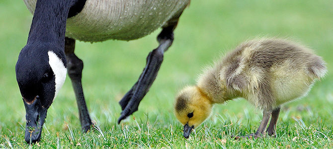 Canada Goose and Gosling