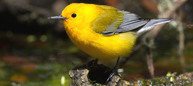 Weekly Bird: Prothonotary Warbler