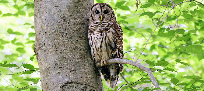 Weekly Bird: Barred Owl