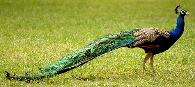 Indian Peafowl - Male