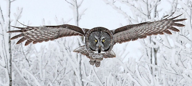 Weekly Bird: Great Gray Owl