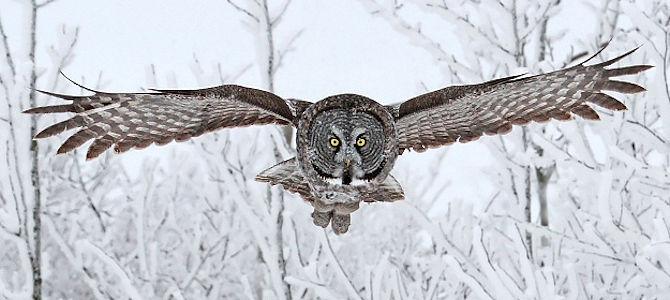 Weekly Bird: Great Gray Owl