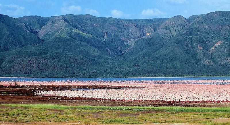 Lesser Flamingo Flock