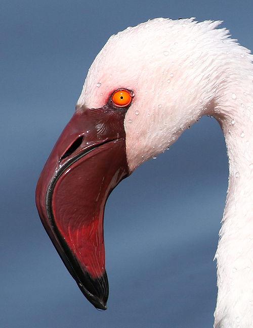 Lesser Flamingo Profile