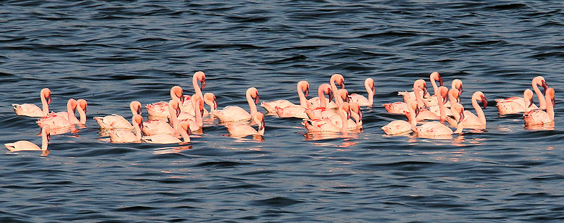 Lesser Flamingos Swimming