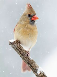 Female Cardinal in Snow - Photo by NPS/N. Lewis