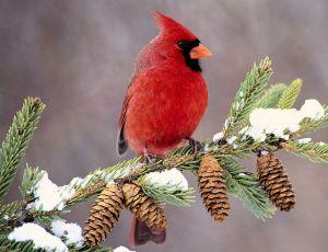 Male Northern Cardinal - Photo by John Waldinger