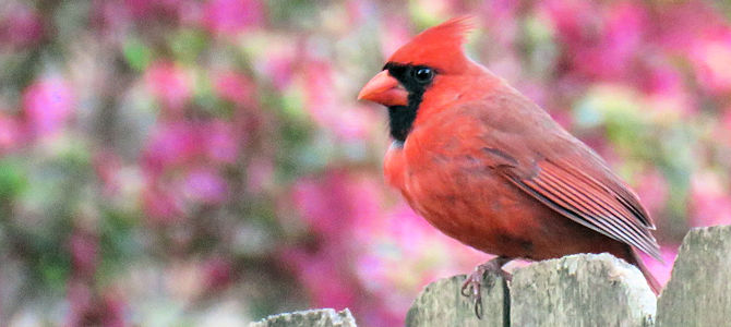 Northern Cardinal in Spring - Photo by patricia pierce