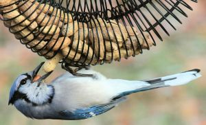 Blue Jay at a Nut Feeder - Photo by fishhawk