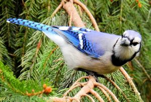 Blue Jay in Pine - Photo by Ken Gibson