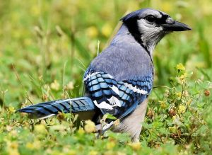 Summer Blue Jay - Photo by Andy Reago & Chrissy McClarren