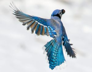 Winter Blue Jay in Flight - Photo by Erik Drost