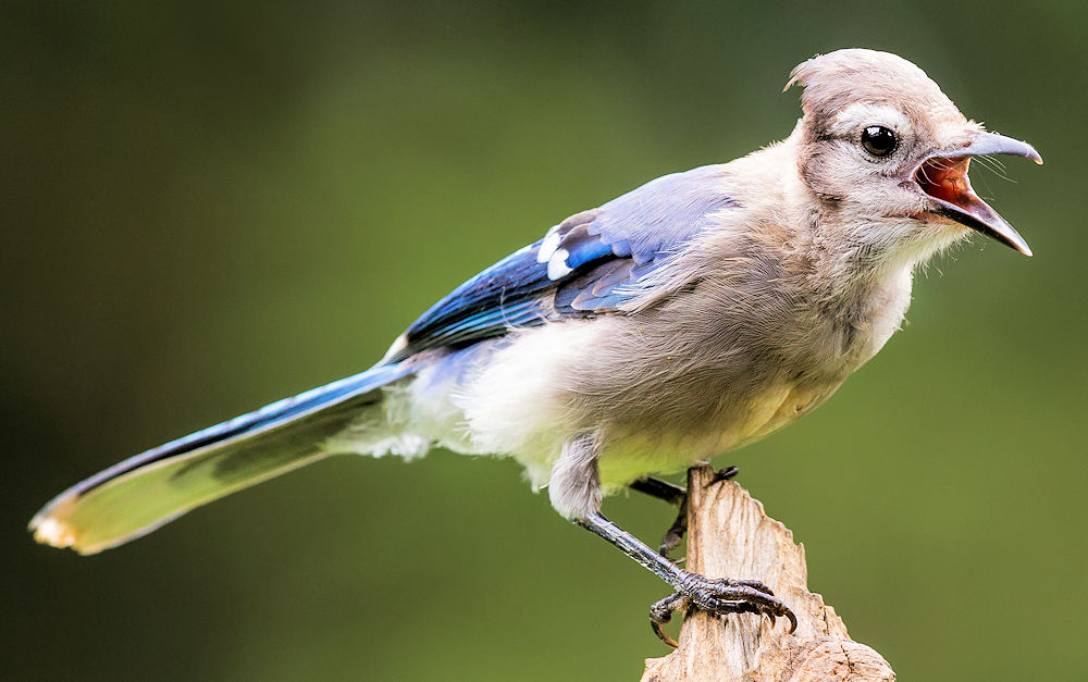Blue Jay Youngster - Photo by NPS | N. Lewis