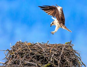 Osprey at the Nest - Photo by Murray Foubister