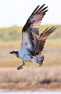 Osprey - Photo by Dan Pancamo