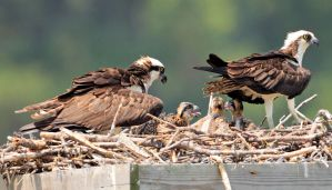 Osprey Family - Photo by Matt Tillett