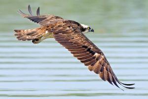 Osprey in Flight - Photo by shrikant rao
