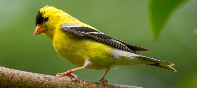 American Goldfinch - Breeding Male - Photo by Sandy Hill :-)