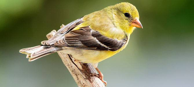American Goldfinch - Breeding Female - Photo by NPS/N. Lewis