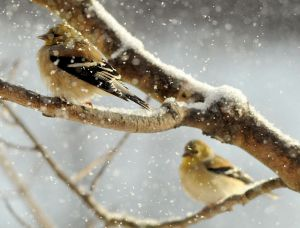 American Goldfinches in Winter - Photo by Jerry Hiam