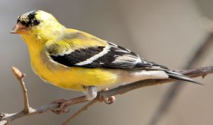 Molting Male American Goldfinch - Photo by C Watts