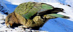 Kea - Photo by Bernard Spragg. NZ