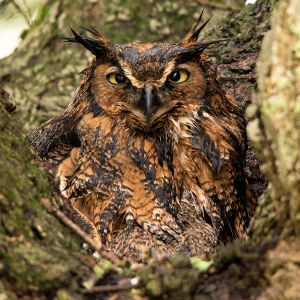 Great Horned Owl on a Wet Day - Photo by Dennis Demcheck, USGS
