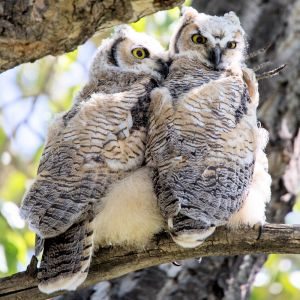 Juvenile Great Horned Owls - Photo by David Mitchell