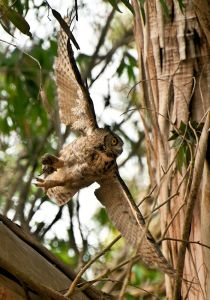 Great Horned Owl on the Hunt - Photo by Anita Ritenour