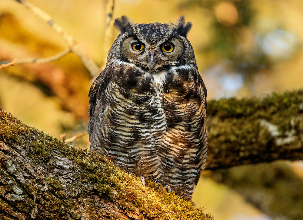 Autumn Great Horned Owl - Photo by Sandy Hill :-)