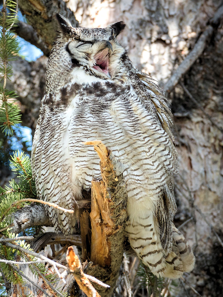A Great Yawn - Great Horned Owl - Photo by NPS / Jacob W. Frank