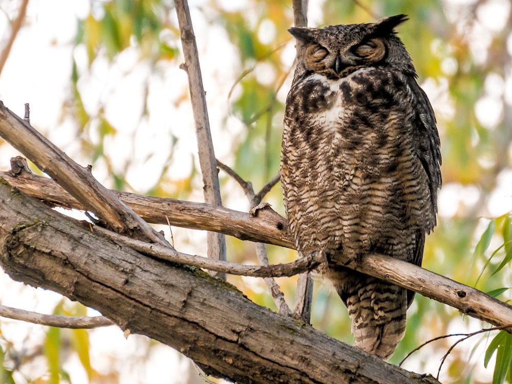 Great Horned Owl Naptime - Photo by Darren Kirby