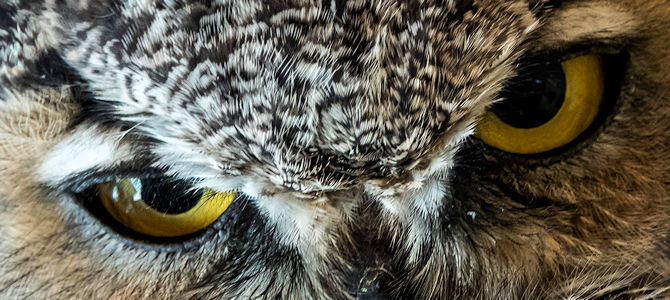Great Horned Owl Photo Gallery