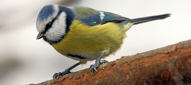Blue Tit - Photo by yrjö jyske