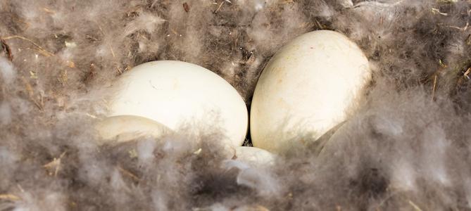 Cackling Goose Nest - Photo by Lisa Hupp/USFWS