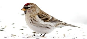 Common Redpoll - Photo by Fyn Kynd