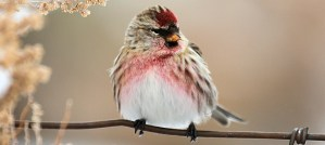 Common Redpoll - Photo by Tim Lenz
