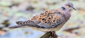 European Turtle-Dove - Photo by Andy Morffew