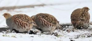 Grey Partridges - Photo by Ekaterina Chernetsova (Papchinskaya)