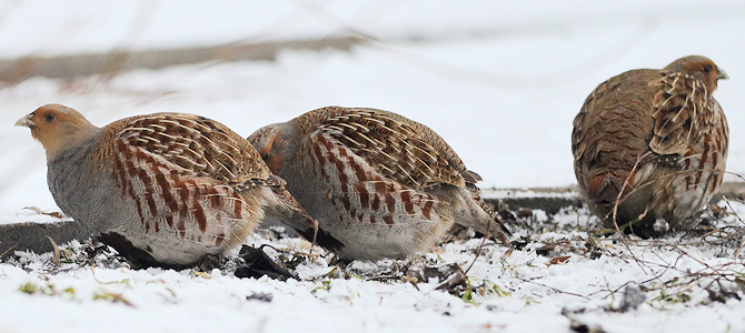 Grey Partridges - Photo by Ekaterina Chernetsova (Papchinskaya)
