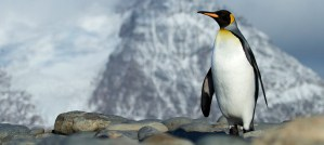 King Penguin - Photo by Brian Gratwicke