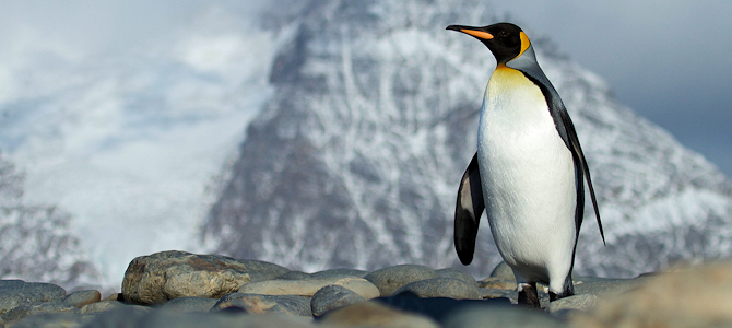King Penguin - Photo by Brian Gratwicke