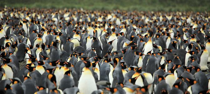 King Penguin Flock - Photo by Liam Quinn