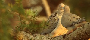 Mourning Doves - Photo by eflon