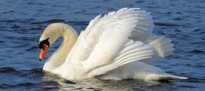 Mute Swan - Photo by ianpreston