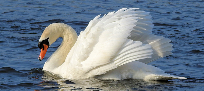 Mute Swan - Photo by ianpreston